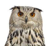 Close-up van een Siberische bubo van Eagle Owl - Bubo- stock afbeeldingen