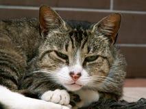 Close-up van een slaperige binnenlandse grijze mannelijke kat royalty-vrije stock foto