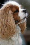 Close-up van een spaniel Royalty-vrije Stock Fotografie