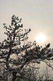 Close-up van een sparrentak met sneeuw in de winter bij Kosutnjak-park wordt behandeld dat stock afbeelding