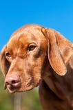 Close-up van een Starende Hond Vizsla Royalty-vrije Stock Afbeelding