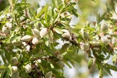 Close-up van een tak van een amandelboom met groene amandelen Close-up Stock Fotografie