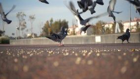 Close-up van een troep van duiven wordt geschoten die in het park voeden dat stock video