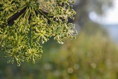 Close-up van een umbel van de bloem van de tuinengelwortel met dalingen van water stock afbeeldingen