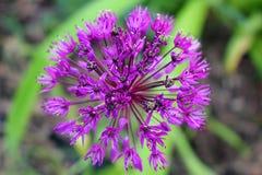 Close-up van een uniek gevormde purpere bloem stock fotografie