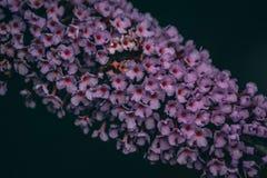Close-up van een Vlinder Bush stock foto's