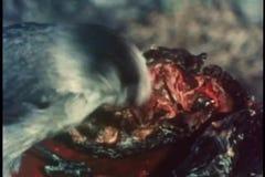 Close-up van een vogel die een karkas eten stock video
