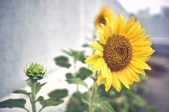 Close-up van een volledig gebloeide zonnebloem en een groene zonnebloemknop op zijn linkerzijde royalty-vrije stock foto's