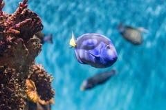 Close-up van een vorstelijk blauw zweempje in aquariummilieu stock afbeeldingen