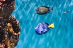 Close-up van een vorstelijk blauw zweempje in aquariummilieu royalty-vrije stock foto