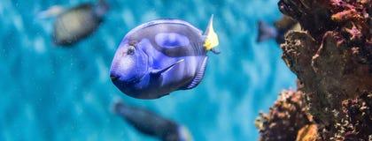 Close-up van een vorstelijk blauw zweempje in aquariummilieu stock afbeelding