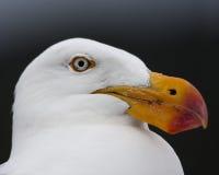 Close-up van een Vreedzame zeemeeuw Stock Foto