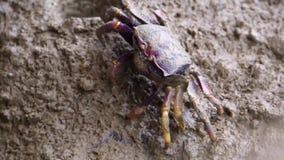 Close-up van een vrouwelijke fiddler krab die modder, krab het voeden gedrag, tropische schaaldierspecie eten stock footage