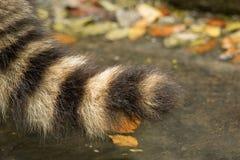 Close-up van een wasbeer` s staart Stock Afbeeldingen