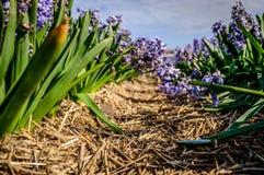 Close-up van een weg tussen gebied van hyacinten in Nederland Stock Afbeelding