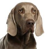 Close-up van een Weimaraner, 3 jaar oud Stock Afbeelding