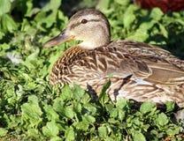 Close-up van een wijfje die van de Wilde eendeend in gras rusten en wordt genesteld Stock Foto