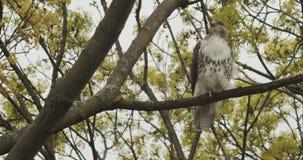 Close-up van een wilde visarendzitting op een tak stock video