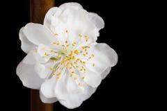 Close-up van een witte abrikozenbloesem Royalty-vrije Stock Foto's