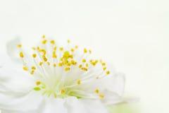 Close-up van een witte abrikozenbloesem Stock Fotografie