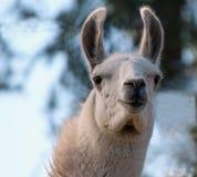 Close-up van een Witte Alpaca Royalty-vrije Stock Fotografie