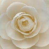 Close-up van een witte cameliabloem Royalty-vrije Stock Afbeeldingen