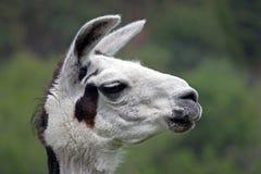 Close-up van een Witte Lama Royalty-vrije Stock Afbeeldingen