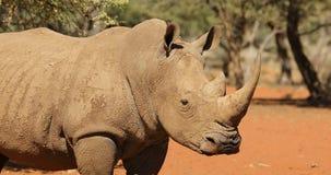 Close-up van een witte rinoceros stock video