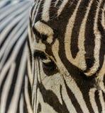 De zebra van de dierentuin Stock Foto's