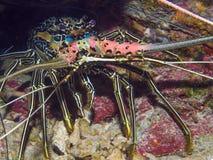 Close-up van een zeekreeft royalty-vrije stock foto's
