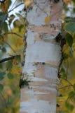 Close-up van een Zilverberkboom stock foto's