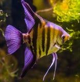 Close-up van een zoetwaterzeeëngel, een mooi en populair aquariumhuisdier, tropische vissen van het bassin van Amazonië stock afbeelding