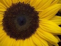 Close-up van een zonnebloem Stock Afbeeldingen