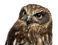 Close-up van een Zuidelijke boobook (Ninox boobook) stock fotografie