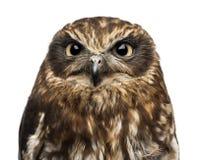 Close-up van een Zuidelijke boobook (Ninox boobook) royalty-vrije stock fotografie