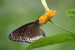 Close-up van een zwarte die vlinder op gele bloem wordt neergestreken Royalty-vrije Stock Afbeeldingen