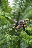 Close-up van een zwarte grote spin met oranje strepen die in een varen Bush zitten stock foto's
