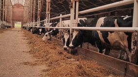 Close-up van een zwarte koe zij eet hooi Huisdier Landbouwbedrijf Het fokken van de dieren stock footage