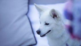 Close-up van een Zwitsers puppy van HerdersDog stock video