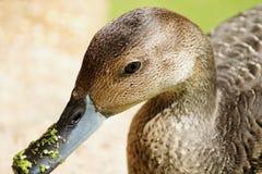 Close-up van eend met duckweeds op zijn bek Stock Afbeelding