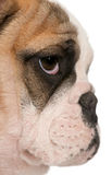 Close-up van Engels buldogpuppy, 4 maanden oud stock afbeelding