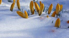 Close-up van Europa van de krokus de gele sneeuw Stock Afbeeldingen