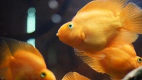 Close-up van exotische goudvissen die in tropische aquariumtank drijven in een zoet water met groene installaties Kader amazing stock videobeelden