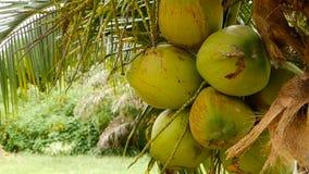 Close-up van exotische groene palmbladeren met cluster van jong vers rond kokosnotenfruit met binnen melk naughty stock video