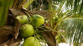 Close-up van exotische groene palmbladeren met cluster van jong vers rond kokosnotenfruit met binnen melk naughty stock footage