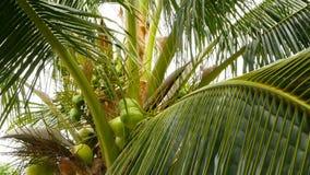Close-up van exotische groene palmbladeren met cluster van jong vers rond kokosnotenfruit met binnen melk naughty stock videobeelden
