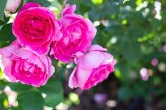 Close-up van fuchsiakleurig roze Engelse rozen in een tuin royalty-vrije stock foto