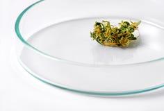 Close-up van Geïsoleerde Marihuanaknop op Petri Dish royalty-vrije stock foto's