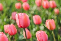 Close-up van gebied van roze tulpen Royalty-vrije Stock Foto's