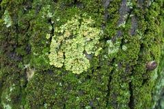 Close-up van geel die Xanthoria-parietinakorstmos op boomschors met mos wordt behandeld royalty-vrije stock afbeelding